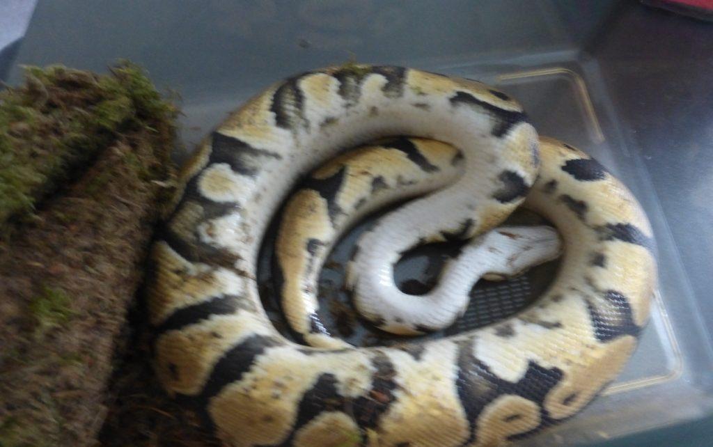 Schlange-boa-constrictor-efringen-kirchen