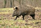 wildschwein-pixabay