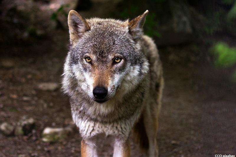 wolf-schluchsee-freiburg-erschossen