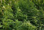 cannabis-denzlingen-plantage-polizei