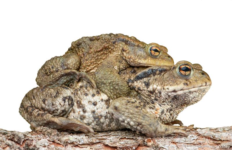 Kröte-Frosch-Wanderung-Waldsee