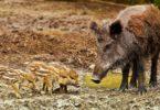 wildschweine-schweinepest-