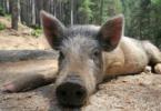 wildschweine-baden-wuerttemberg