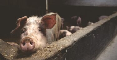 Schweinefleisch-Rheuma-Schwein